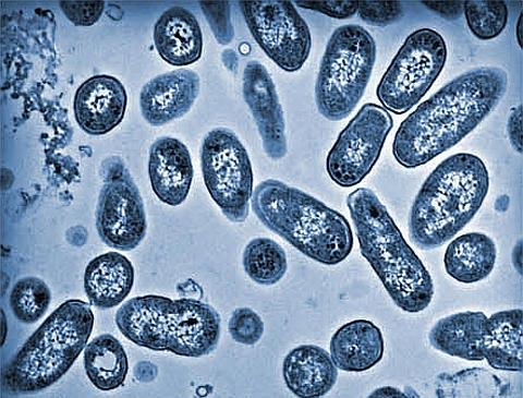 Khuẩn salmonella quỷ quyệt hơn chúng ta tưởng